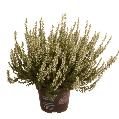 Calluna vulgaris sunset® 12,0