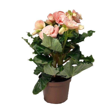 Begonia bigflower Lj, rosa