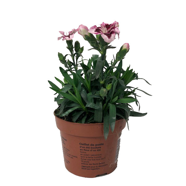 Dianthus oscar pink and  10,5