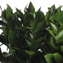 Ruscus storbladig