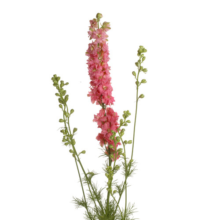 Delphinium Ajacis rosa.
