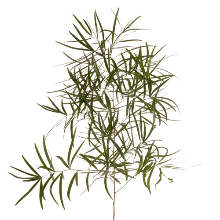 Asparagus Falcatus 60