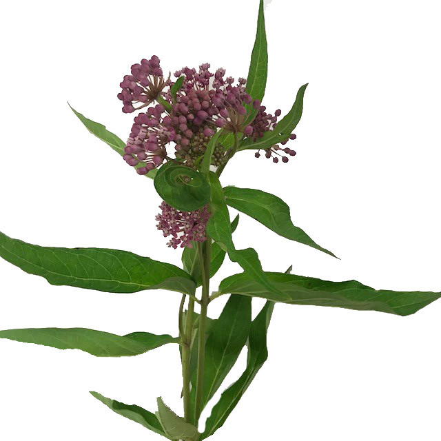 Asclepias In Soulmate.