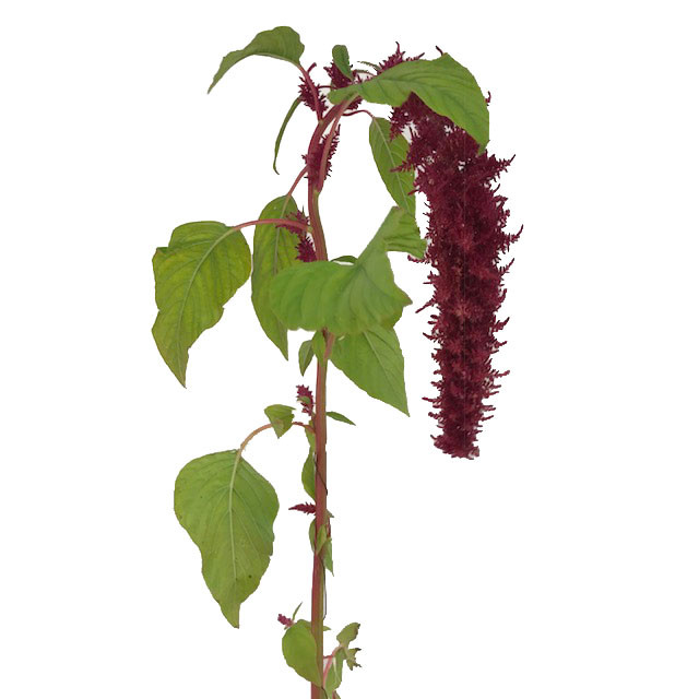 Amaranthus Hanging Red Spider
