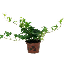 Hedera helix 9,0 cm
