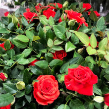 Ros röd 10,5 cm