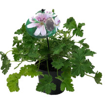Pelargonium graveolens v 12,0