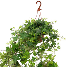 Hedera helix 19 cm