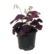 Oxalis triangularis 10,0 cm