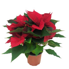 Euphorbia pulcherrima gr 13,0