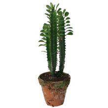 Euphorbia i lerkruka 13 cm