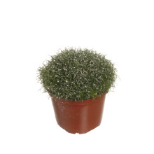 Sagina procumbens 9,0 cm