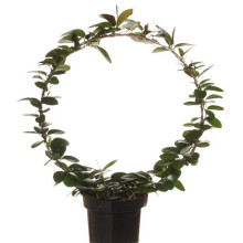 Hoya carnosa 17,0 cm
