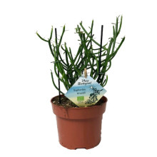 Euphorbia tirucalli 13 cm