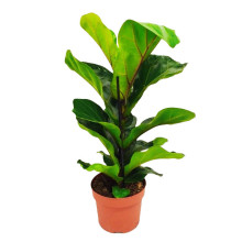 Ficus lyrata bambino 12 cm