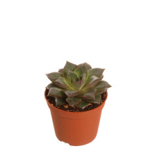 Echeveria purpusorum 8,5 cm