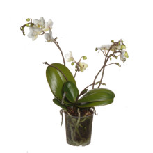Phalaenopsis wild orchid 9cm