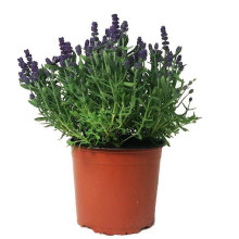 Lavendel busk, Frillesås.