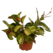Hoya tricolor hang  12,0 cm