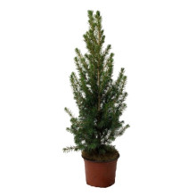 Picea glauca conica, 13 cm