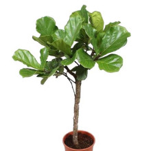Ficus lyrata förgrenad 30 cm
