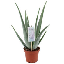 Aloe vera 15cm'