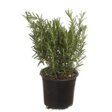 Rosmarinus  busk 14 cm