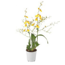 Oncidium munsterland gul 12cm