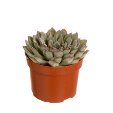 Echeveria pelucida 8,5 cm