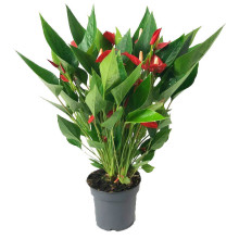 Anthurium andr. million 12 cm