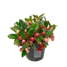 Gaultheria Arvidsson 11cm.