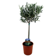 Olea europaea (oliv) p 14 cm