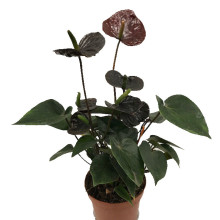 Anthurium andr. karma bl 12 cm