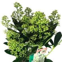 Skimmia jap. finch lime 19 cm