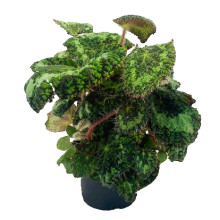 Begonia rex-sizemoera 12,0