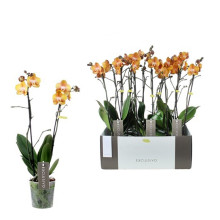 Phalaenopsis las vegas 12 cm