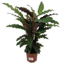 Calathea rufibarba 12,0 cm