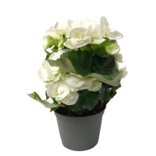 Begonia Vit 12cm Mariestad