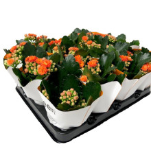 Kalanchoe mini orange 6,0 cm