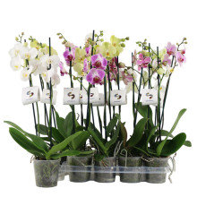 Phalaenopsis 3gr, mix 12 cm