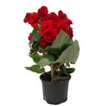Begonia Röd Mariestad