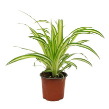 Chlorophytum comosum 12 cm