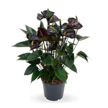 Anthurium andr. svart bl 12 cm