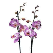 Phalaenopsis cassie 14+ 12 cm