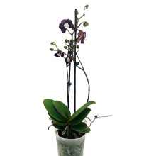 Phalaenopsis black widow 12cm