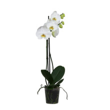 Phalaenopsis vit 2gr 12 cm