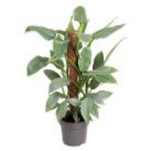 Philodendron silver quee 17 cm