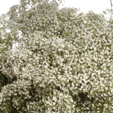 Gypsophila Million Star.