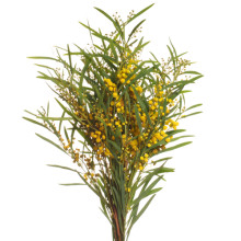 Mimosa Floribunda