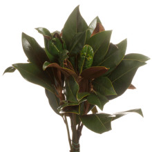 Magnoliablad